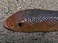 African Shovel-nosed Snake (Scaphiophis albopunctatus) (7652092036).jpg
