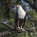 African fish eagle (Haliaeetus vocifer) Zimbabwe.jpg