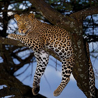 Leopard Large cat native to Africa and Asia