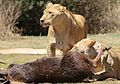African lion, Panthera leo feeding at Krugersdorp Game Park, South Africa (30037079486).jpg