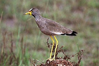 African wattled lapwing species of bird
