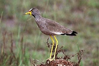 African wattled lapwing - Semuliki Wildlife Reserve, Uganda