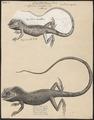 Agama cristata - 1700-1880 - Print - Iconographia Zoologica - Special Collections University of Amsterdam - UBA01 IZ12800041.tif