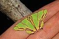 Agathia diplochorda (Geometridae- Geometrinae) (5641835288).jpg
