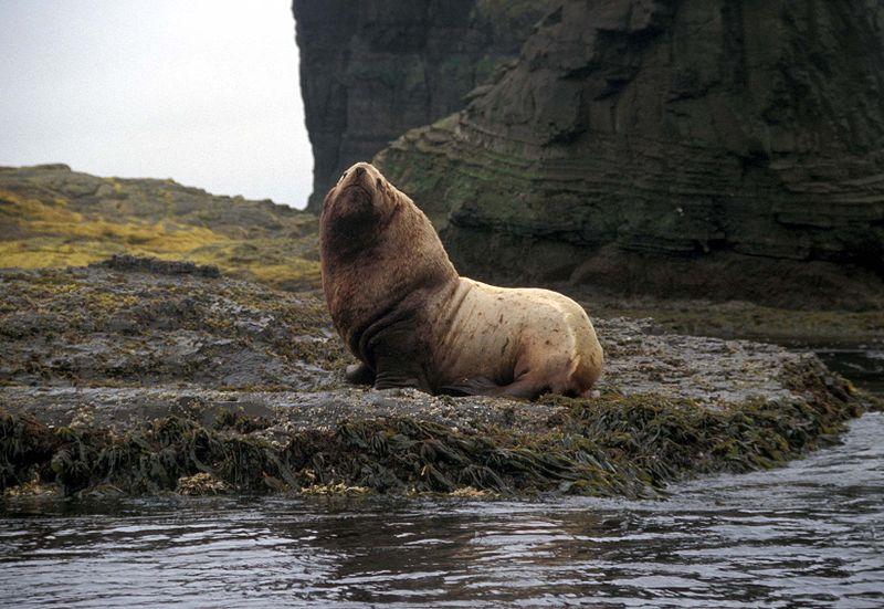 File:Agattu Island Steller Sea Lion bull.jpg