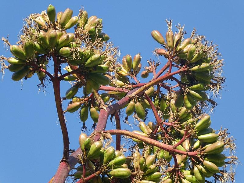 File:Agavaceae - Agave americana - Striata 02.jpg