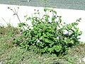 Ageratum houstonianum plant4 (11508915424).jpg