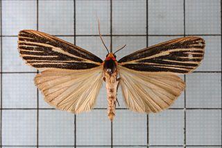 <i>Agylla</i> (moth) Genus of moths