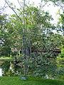 Ahala-Cassia fistula-Sri Lanka (2).jpg