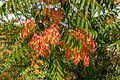 Ailanthus altissima august 2012 Sierra Nevada Andalusia Spain.jpg