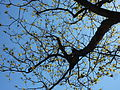 Ailanthus giraldii-old branches-backlighted.JPG