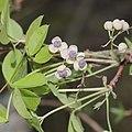 Akebia quinata (flower male).jpg