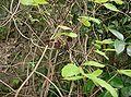 Akebia trifoliata10.jpg