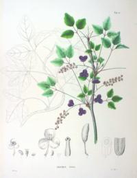 Akebia trifoliata SZ78