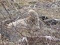 Albatross birds - Espanola - Hood - Galapagos Islands - Ecuador (4871105099).jpg