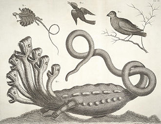 Albertus Seba - Image: Albertus Seba Hydra