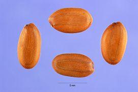 Albizia julibrissin seeds.jpg