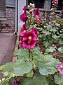 Alcea Rosea Hollyhocks flower plant.jpg