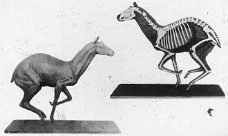 Musk deer - Reconstruction of the extinct American species Blastomeryx gemmifer