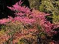 Alishan Cherry Blossoms 阿里山櫻花 - panoramio.jpg
