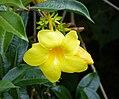 Allamanda cathartica. Golden Trumpet - Flickr - gailhampshire.jpg