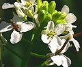 Alliaria petiolata ENBLA07.jpg