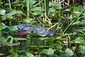 Alligator, Everglades National Park - panoramio.jpg