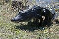 Alligator stepping out of the water (6743068029).jpg