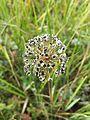 Allium angulosum sl11.jpg