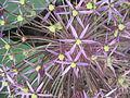 Allium cristophii03.jpg