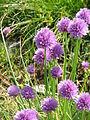 Allium schoenoprasum002.jpg