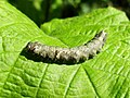 Allophyes oxyacanthae (Noctuidae) - (caterpillar), Arnhem, the Netherlands.jpg