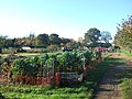 Allotments in South Wootton, Norfolk. - geograph.org.uk - 285799.jpg
