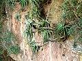 Aloe arborescens, Krantzkloof Natuurreservaat, a.jpg