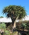 Aloe bainesii, Victoria Esplanade Park (6).jpg