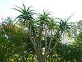 Aloe barerae.jpg