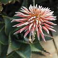 Aloe perfoliata-IMG 5557.jpg