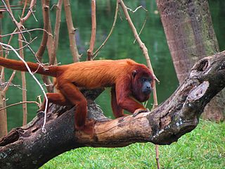 Colombian red howler Species of monkey