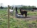 Alpaca at Great Carlton - geograph.org.uk - 1015593.jpg