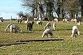 Alpacas at Goring Heath - geograph.org.uk - 1166856.jpg