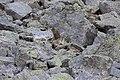 Alpine Marmot - Marmota marmota (15410549602).jpg