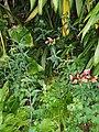 Alstroemeria pulchella L.f. (AM AK307749-3).jpg