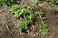 Amaranthus blitoides 8601.JPG