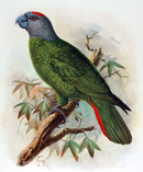 A green parrot with a blue-grey head and a red forehead