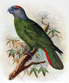 Martinique amazon Hypothetical species of bird