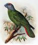 Martinique parrot