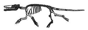 Archaeoceti - Ambulocetus