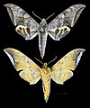 Ambulyx immaculata MHNT CUT 2010 0 173 Philippines male.jpg