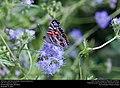 American Lady (Nymphalidae, Vanessa virginiensis) (30875656040).jpg