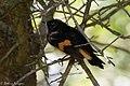 American Redstart ( male) Anahuac NWR - Woodlot TX 2018-04-25 12-18-54 (40261466290).jpg